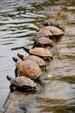 Riga delle tartarughe Fotografia Stock Libera da Diritti