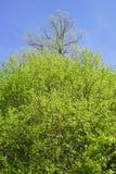 Riga di alberi di fioritura di primavera Fotografia Stock Libera da Diritti