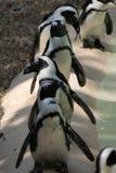 Riga di pinguini di Humboldt immagini stock