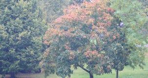 Urban tree and rain autumn 4K. Riga Latvia autumn Urban tree and rain fall stock footage