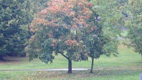 Urban tree and rain autumn 4K. Riga Latvia autumn Urban tree and rain fall stock video