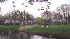 RIGA, LETONIA - 24 DE ABRIL DE 2019: Gente en parque de la victoria que goza de la flor de cerezo de Sakura - canal de la ciudad  almacen de video