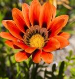 rigens alaranjados do Gazania da flor Foto de Stock