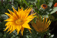 Rigens do Gazania Fotos de Stock