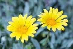 Rigens flor del Gazania de tesoro del 'talento' - fotos de archivo
