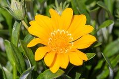 Rigens flor del Gazania de tesoro del 'talento' - imagen de archivo libre de regalías