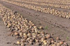 Righe con le cipolle di secchezza pronte per raccogliere Immagini Stock
