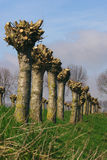 Righe degli alberi   Fotografia Stock Libera da Diritti