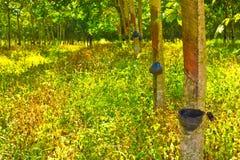 Righe degli alberi di gomma che sono spillati in una piantagione Fotografia Stock