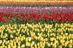 Righe dei tulipani fotografia stock libera da diritti