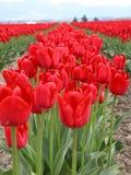 Righe dei tulipani rossi Fotografia Stock Libera da Diritti