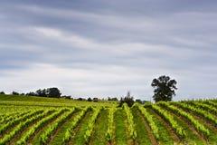 Righe del vino Fotografia Stock Libera da Diritti