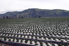 Righe dell'azienda agricola Immagine Stock