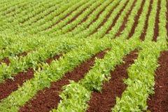 Righe dell'azienda agricola delle piante di pisello fresche Immagini Stock