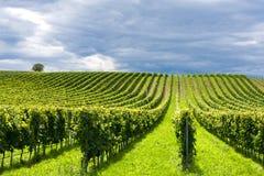 Righe dell'uva Immagini Stock Libere da Diritti