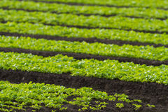 Righe delle piante dell'insalata del foglio della lattuga del bambino fotografia stock libera da diritti