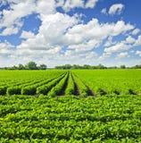 Righe delle piante della soia in un campo Immagine Stock