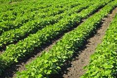 Righe delle piante della soia in un campo Immagini Stock