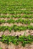 righe delle piante di fragola Immagini Stock Libere da Diritti