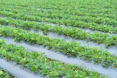 righe delle piante di fragola Fotografie Stock Libere da Diritti