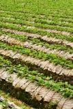 righe delle piante di fragola Fotografie Stock