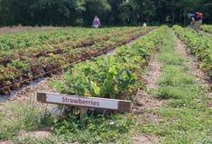 righe delle piante di fragola Immagine Stock Libera da Diritti