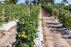 Righe delle piante di pomodori su un'azienda agricola Immagine Stock