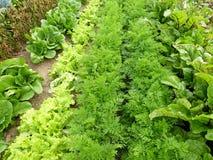 Righe delle verdure Fotografie Stock Libere da Diritti