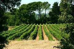 Righe delle viti incorniciate con gli alberi Immagine Stock Libera da Diritti