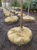 Righe di giovani alberi Fotografia Stock