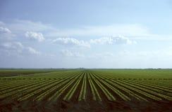Righe di giovani piante della carota Fotografie Stock Libere da Diritti