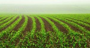 Righe di giovani piante di cereale Immagine Stock