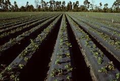 Righe di giovani piante di fragola in un campo Fotografie Stock Libere da Diritti