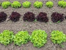 Righe di lattuga che crescono su un'azienda agricola Fotografie Stock