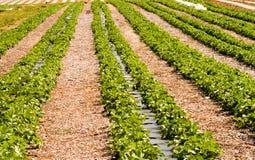 Righe di nuove piante di fragola Fotografia Stock Libera da Diritti