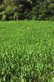 Righe e righe delle piante fresche Fotografia Stock Libera da Diritti