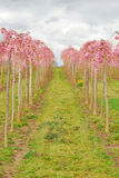 Righe rosa fotografie stock