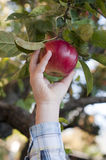 It is the right choice. Child's hand  picks an apple Royalty Free Stock Photos