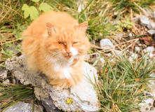A right eye injured stray cats Royalty Free Stock Photography