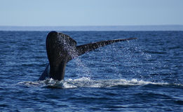 Right franca whale Royalty Free Stock Photography