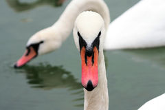 Right in front of me - swan Royalty Free Stock Image