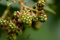 Right green blackberries unripe with webs on them royalty free stock photography
