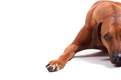 Right half of rhodesian ridgeback Stock Photos