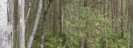 RIGHT PANORAMIC CENTRAL FLORIDA WOODLANDS 3 Stock Photography