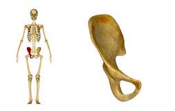Right Pelvic bone Royalty Free Stock Images