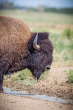 Right profile of an American Bison or Buffalo Royalty Free Stock Photo