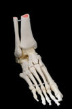 Right side front view of foot skeleton. A highly detailed articulated model of a human foot, with all the bones represented, from the toes to just past the ankle royalty free stock photo