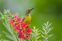 Right side of Plain Sunbird(Anthreptes simplex) Royalty Free Stock Photos