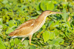 Right side portrait of Yellow Bittern Royalty Free Stock Photography