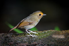 Right side of the Rufous-browed Flycatcher (Ficedula solitaris ) Stock Photos